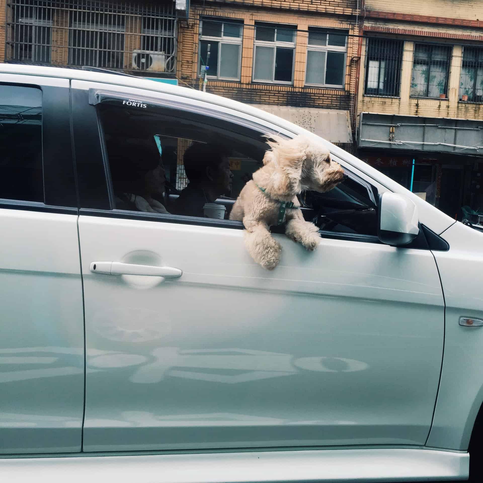 Kako psa uspešno privaditi na vožnjo z avtom?